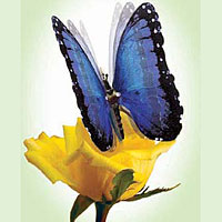 Blue Morpho Moving Butterfly Buy Now